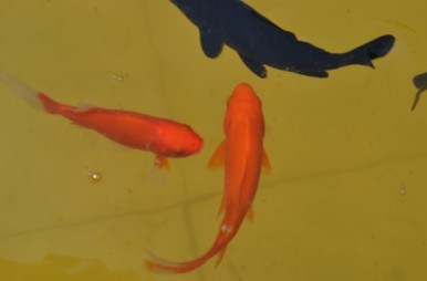 金鱼:家园小动物们(四)